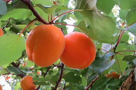 14 jan apricots