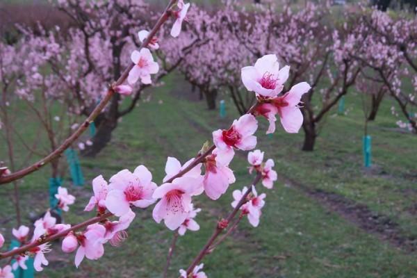 Sep 15 blossom