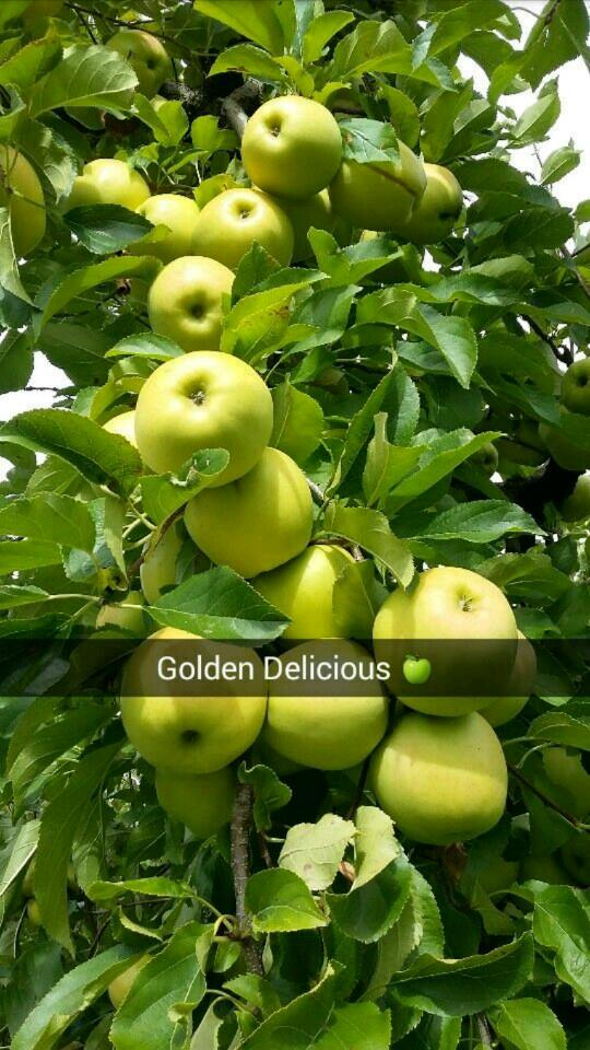 gold delicious
