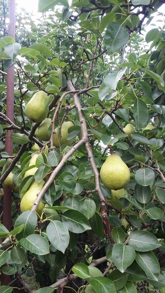 pearss